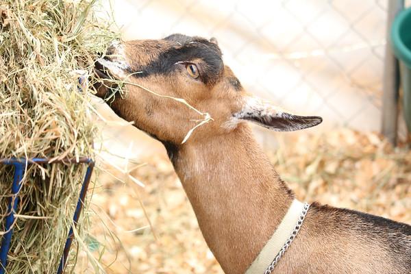 WP_BH_Fair_Animals_Goat_3_090618_JS