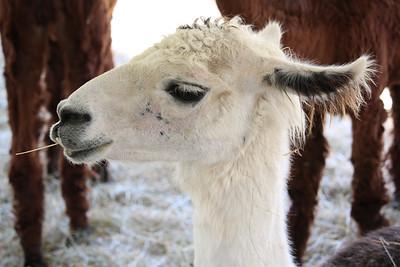 WP_BH_Fair_Animals_Llama_1_090618_JS