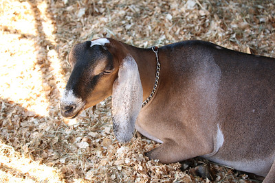 WP_BH_Fair_Animals_Goat_1_090618_JS