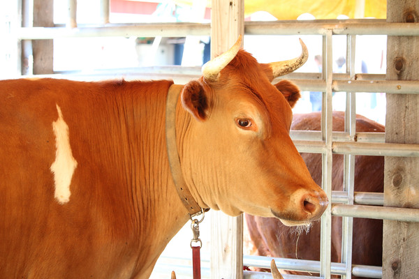 WP_BH_Fair_Animals_Cow_1_090618_JS