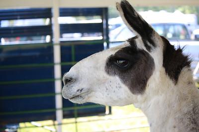 WP_BH_Fair_Animals_Llama_2_090618_JS