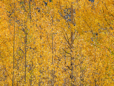 Aspens, Route 50, Colorado