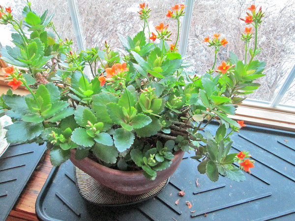 IA_Green_Thumbs_houseplants_Kalanchoe_CS
