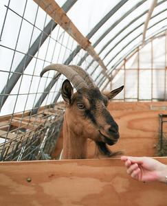 AP_Fresh_from_Farm_YB_Goat_071119