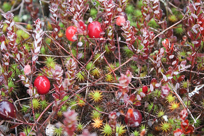 WP_red_bog_cranberries_plant_102419_AB