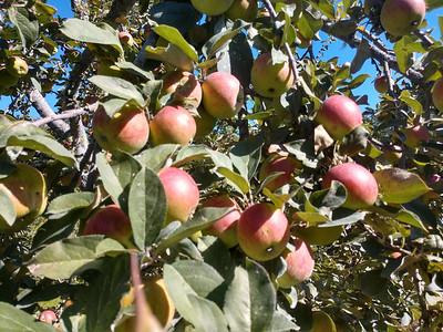 AP_Fresh_from_Farm_5_Star_Nursery_Apples_092619_TO