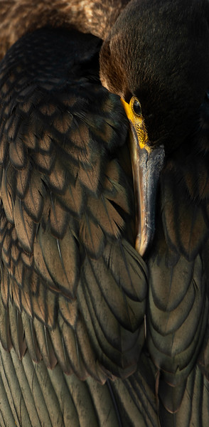 Section A - 1st - Cormorant Resting by Charlie Wheeler