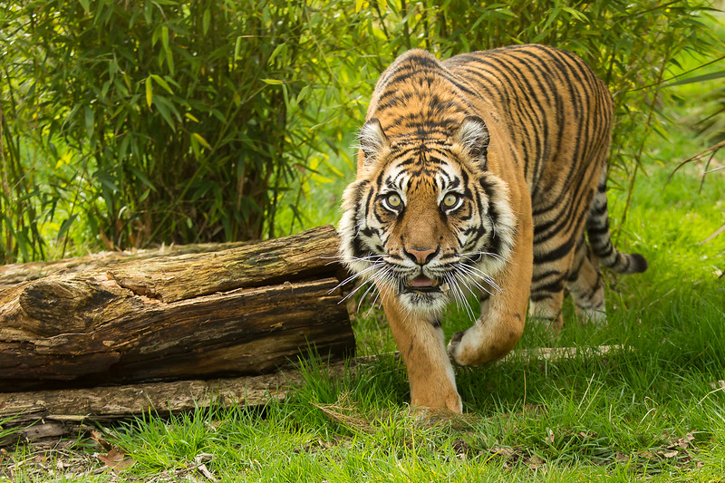 Section B - Highly Commended - Eye of the Tiger by David Jenkins