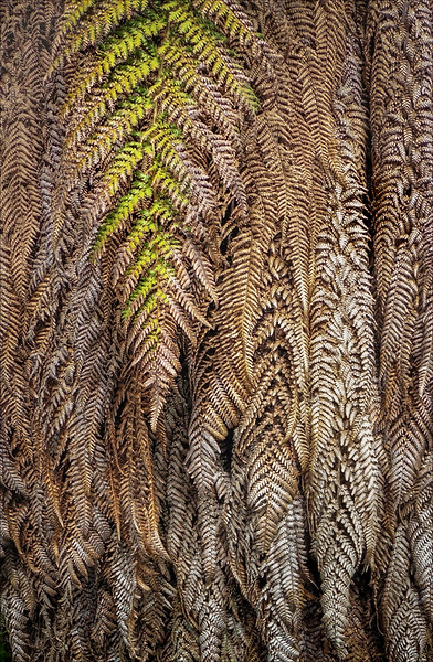 Section A - 3rd - Hangin' on in there - New Zealand Tree Fern by Carol Tritton