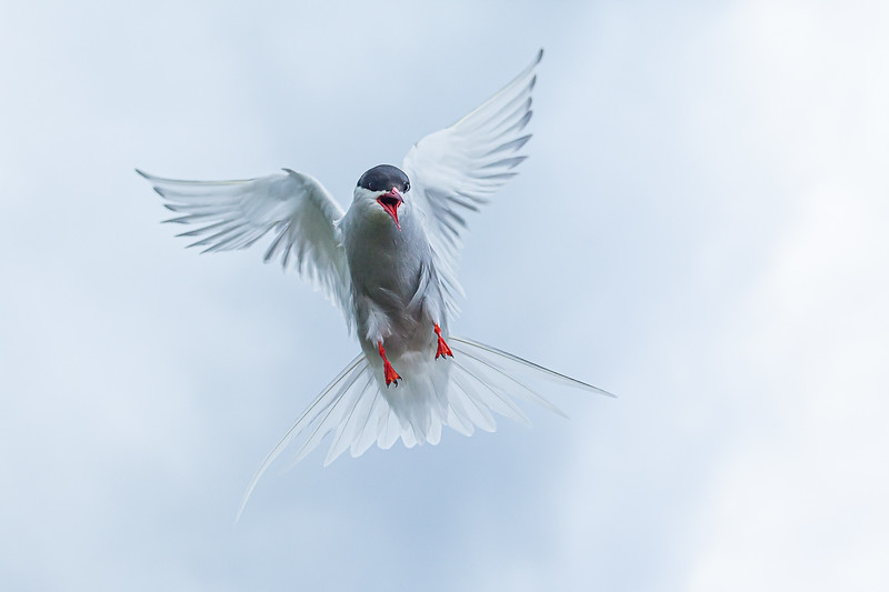 Section B - 3rd - A raucous Tern by David Jenkins