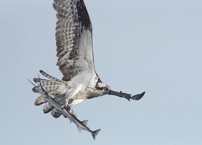 March image - osprey w/ needlefish