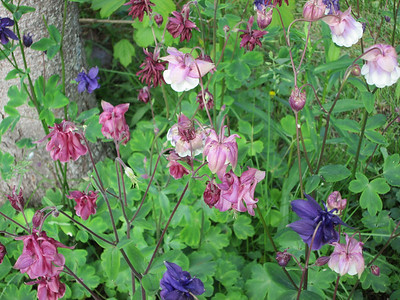AP_Green_Thumbs_language_of_flowers_Columbine_010920