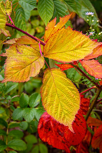CP_autumn_scenics_scarlet_and_gold_100120_RW