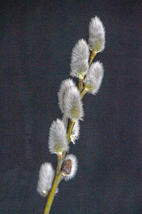 CP_spring_pussywillow_040121