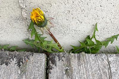 CP_spring_dandelion_blossom_040121