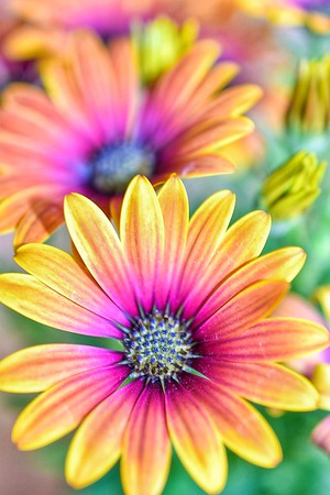 Beautiful Osteospermum