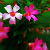 Mandevilla with Lensbaby