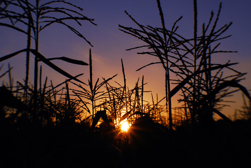 Sunset within the corn
