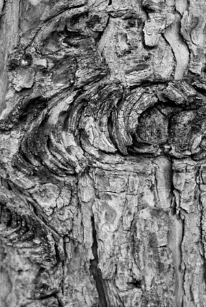 [365.094] Bark Detail  <i>Alameda, California — April 4, 2009</i>  A simple study of tree bark. The subject is the enormous tree in front of our house.  © Brendan Cox — All Rights Reserved