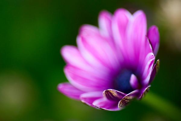 [365.183] Purple Flower <i>Alameda, California — July 2, 2009</i>  © Brendan Cox — All Rights Reserved