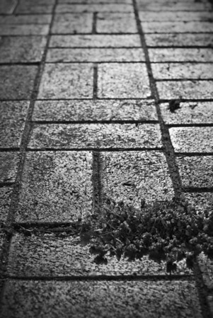 [365.088] Pathway <i>Alameda, California — March 29, 2009</i>  A plant growing in the brick pathway leading to our house.  An experiment in night photography which didn't turn out very well. :(  © Brendan Cox — All Rights Reserved