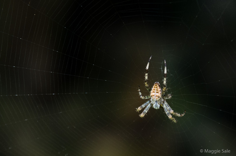 A spider caught in the sunlight as it sits on its web under our deck.