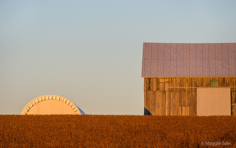 A barn, a storage cylinder and a field of ripe soya beans at a farm near Guelph, just before sunset.