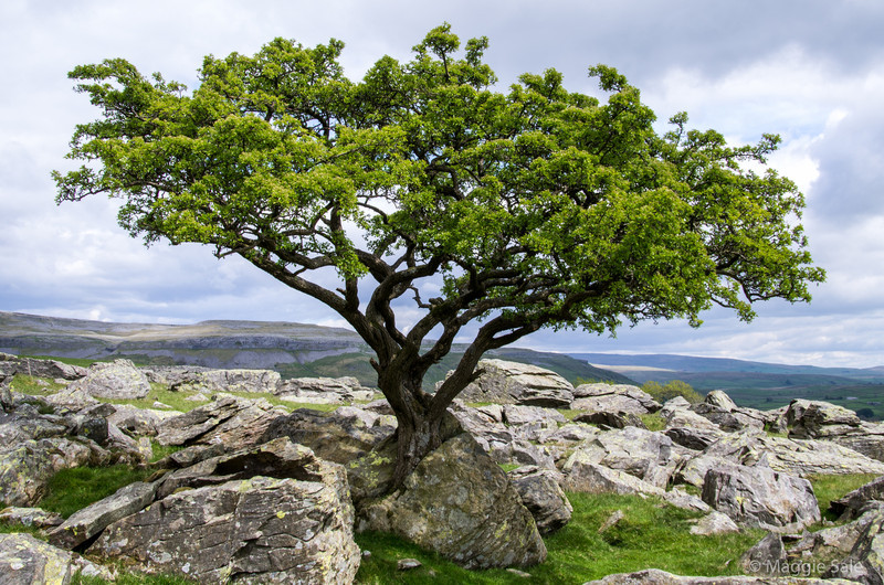 I've been photographing this Hawthorn tree in the Yorkshire Dales through the seasons. I'm still waiting for the white blossoms to appear - so late this year due to cold spring and the exposed location of this tree near Austwick.
