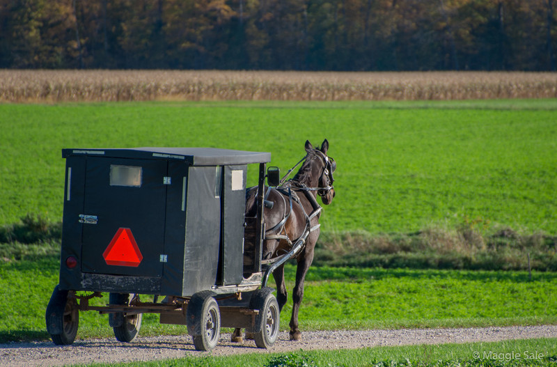 An old order Mennonite farmer and his horse and buggy arrive home on the farm near St. Jacobs at the end of the day.