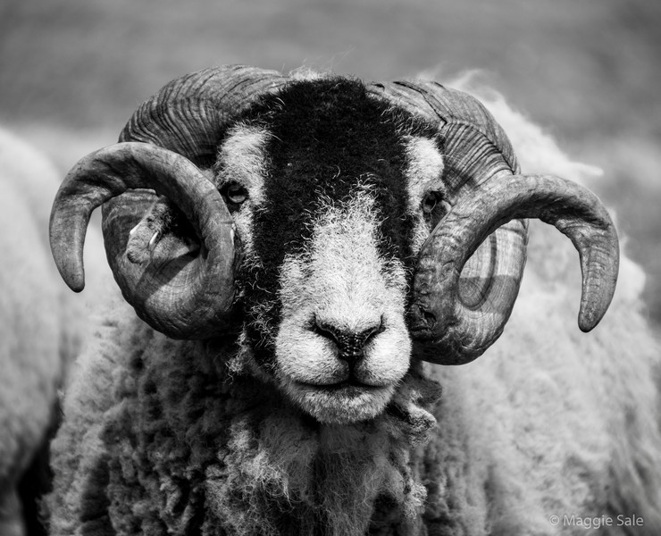 A magnificent pair of horns on a sheep in the Lake District