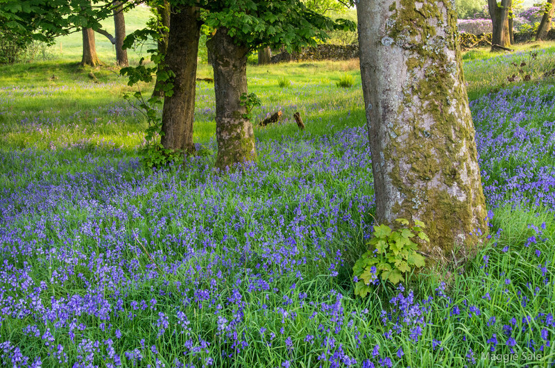 My last posted photo from England taken in the evening, a couple of days before we left on Wed. June 12th. This bluebell wood is located in the Lune Valley on the hillside where the higher elevation has allowed the bluebells to still be in bloom, well after their normal time.