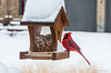A male cardinal at our bird feeder, enjoying a feast! Taken through the study window which could have been cleaner! We have SNOW this week!