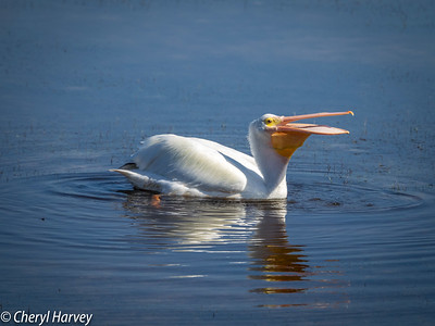 White Pelican Laughing