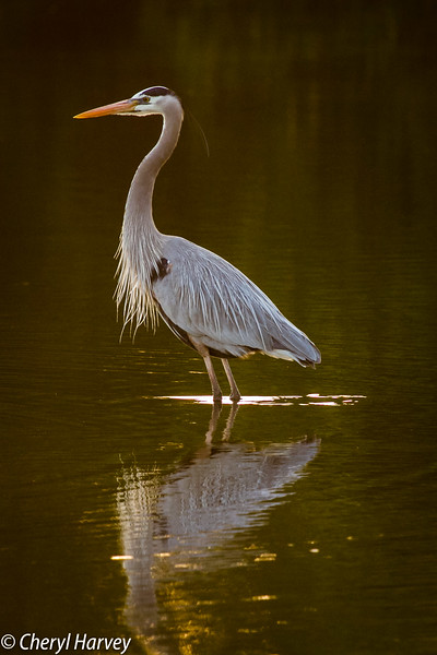 Great Blue Heron Reflected