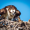 Osprey & 2 Chicks