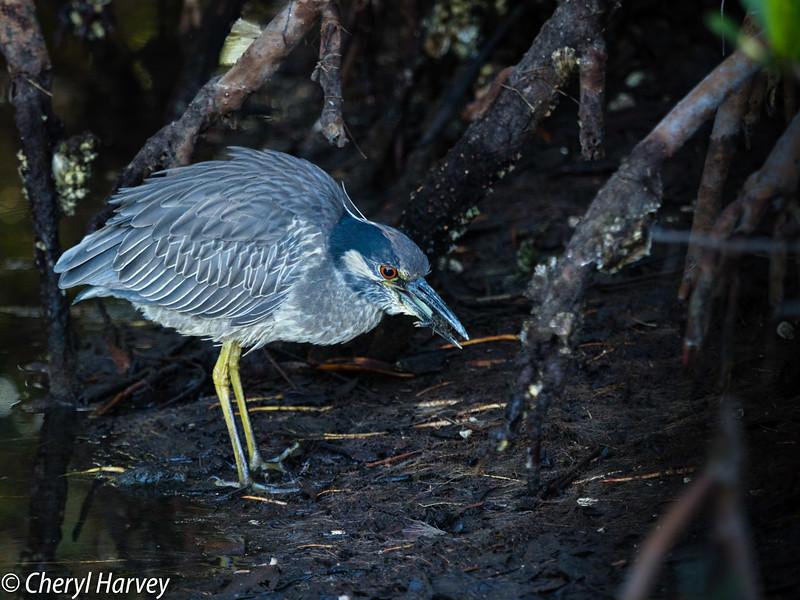 Feeding Yellow-Crowned Night Heron