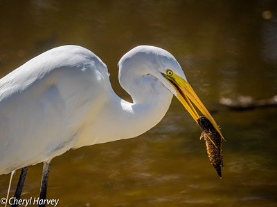 Great Egret & Lunch