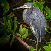 Tricolored Heron #1