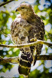 Hawk Hiding