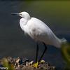 Snowy Egret #3