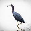 Dark in Light: Little Blue Heron