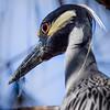 Yellow-crowned Night Heron Head