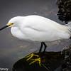 Snowy Egret: Yellow Feet Dominant