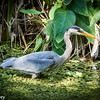 Great Blue Wading