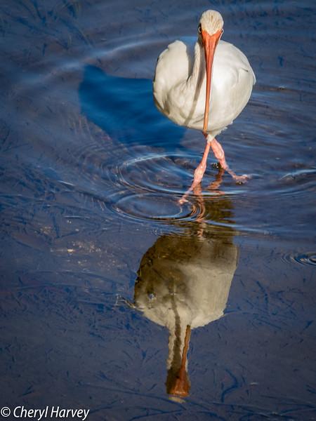 White Ibis, Cross-legged Reflection