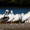 White Pelicans & A Brown