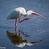 White Ibis Stretch