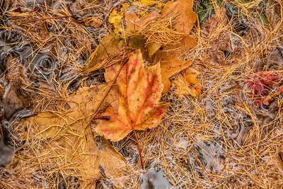 tamarack needles and autumn leaves