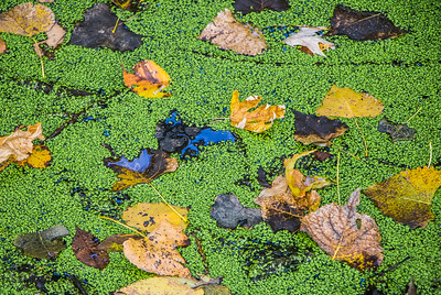 duckweed and autumn leaves