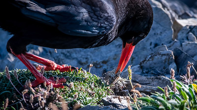 Red Billed Chough - Symbol of Cornwall